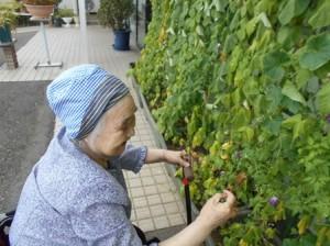グリーンカーテンに実ったきゅうりの収穫。おいしく頂きました